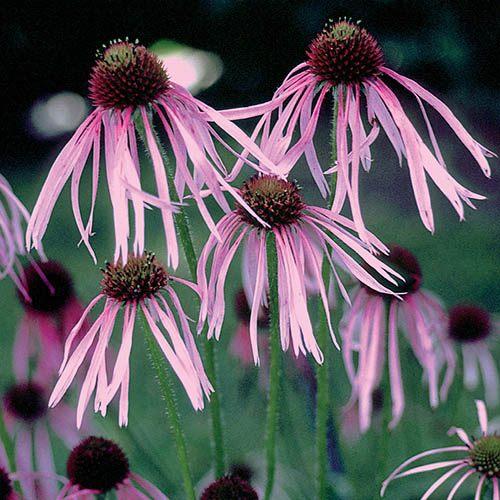 Echinacea Quill Petals