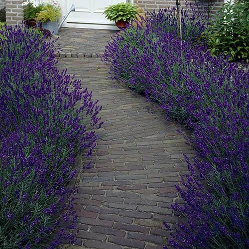 Lavender Hidcote Plug Plants x 12