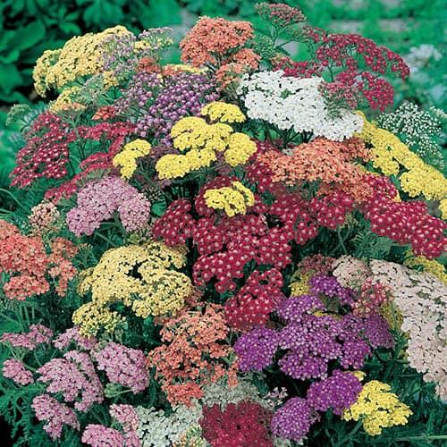 Achillea Summer Pastels 20 Garden Ready Plants