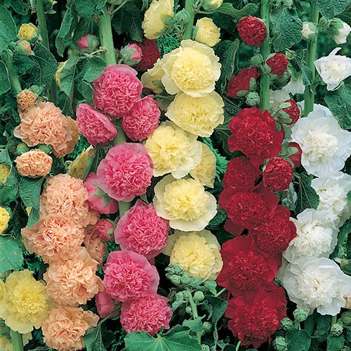 Hollyhock Chaters Double mix 20 Garden Ready Plants