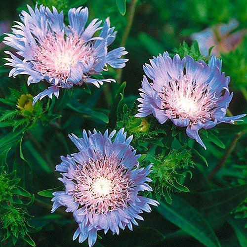 Stokesia laevis Blue Star6 plug plants