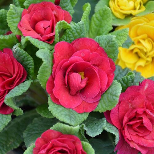 Scented Hardy Primula Belarina (R) Carmen 3 Jumbo Plug Plants