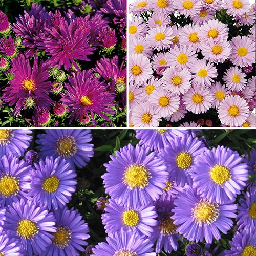 Aster dumosus Autumn Jewels