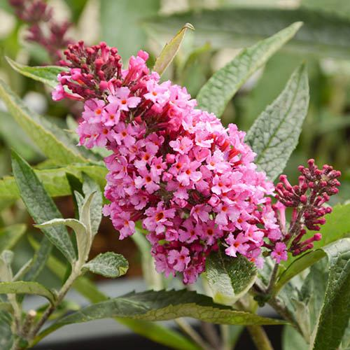 Buddleia davidii Buzz Butterfly Bush