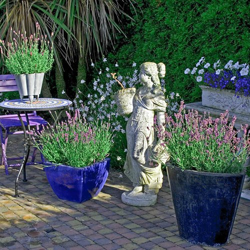 French lavender, Lavandula stoechas Castilliano