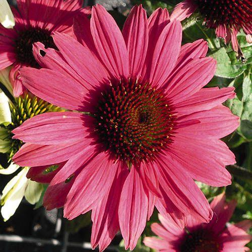 Echinacea purpurea Sunbuzzer Mixed Coneflower