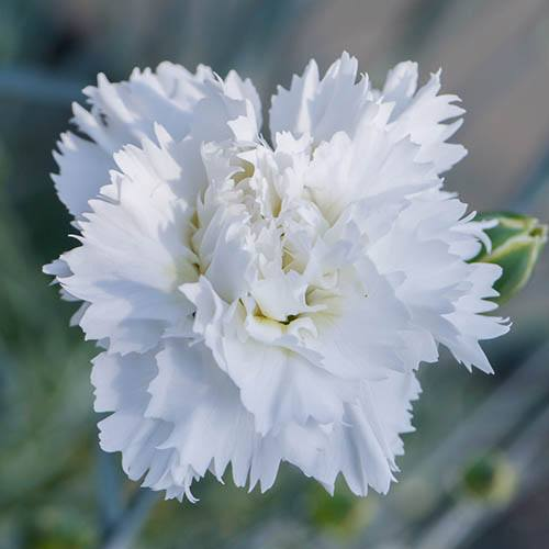 Dianthus Memories Scented Pinks