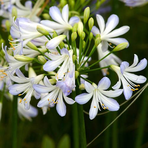 African Lily Agapanthus africanus Silver Baby