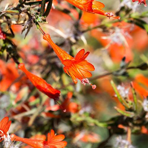Californian Fuchsia Zauschneria californica Glasnevin