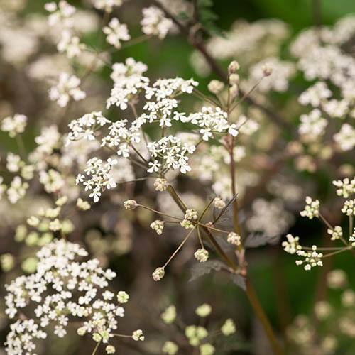 Anthriscus sylvestris Ravenswing Cow Parsley