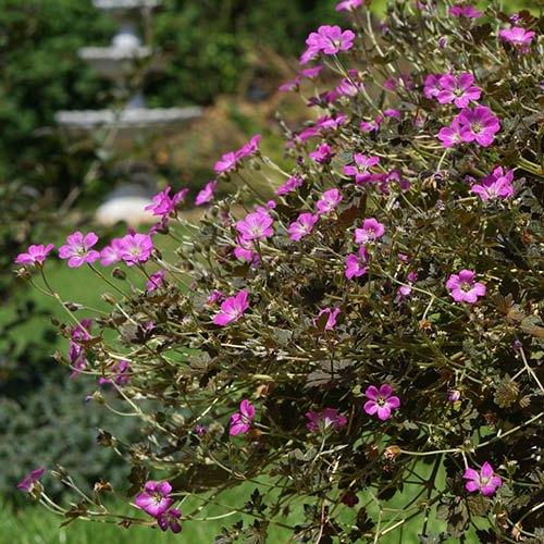 Hardy Geranium Orkney Cherry Cranesbill