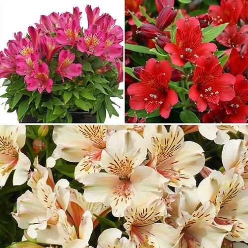 Alstroemeria Inca Peruvian Lily Collection