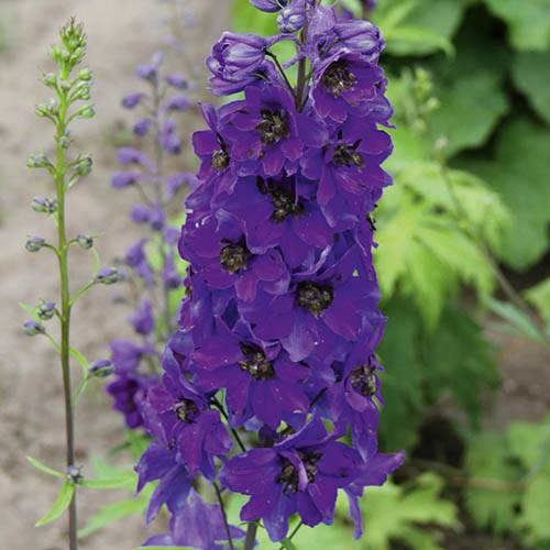 Perennial Plug Plant Collection