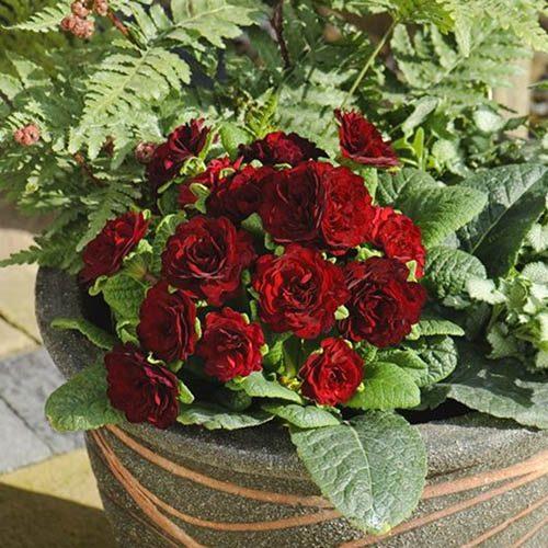 Double Primrose Primula Belarina Valentine Red