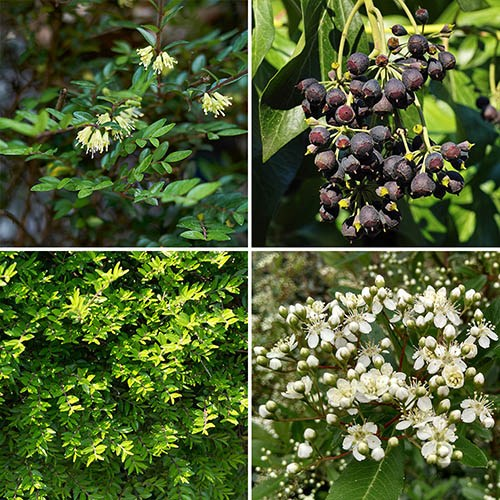 Evergreen Ground Cover Shrub Collection