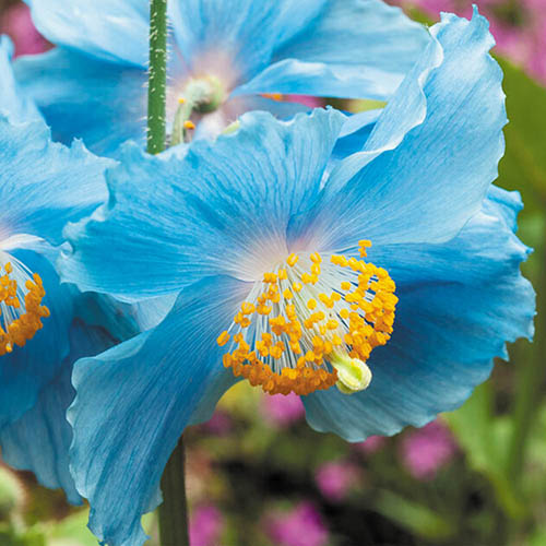 Meconopsis Himalayan Blue Poppy