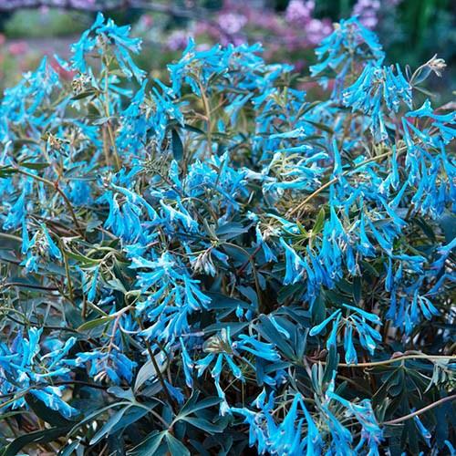 Corydalis Blue Heron
