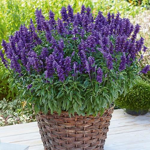 Salvia Farina Collection