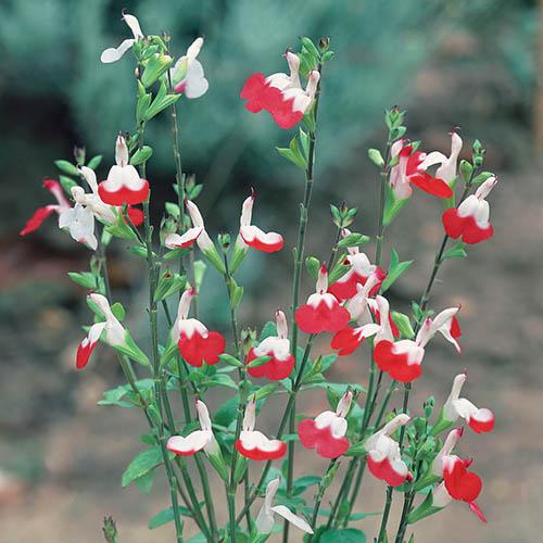 Salvia Lips Collection