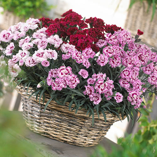 Dianthus Odessa Collection