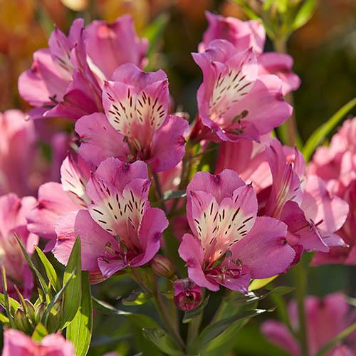 Alstroemeria Summer Collection