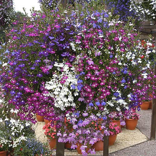 Lobelia Fountain Mix