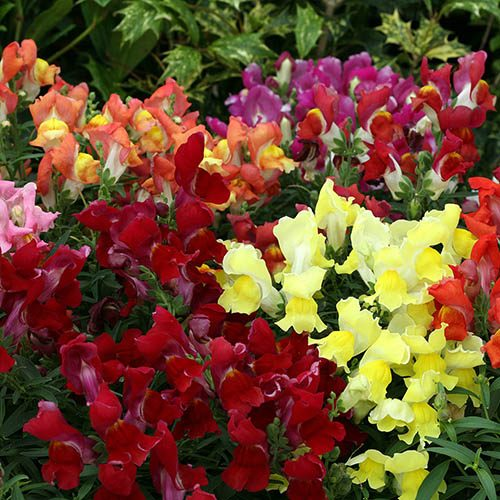Antirrhinum Crackle & Pop Mix