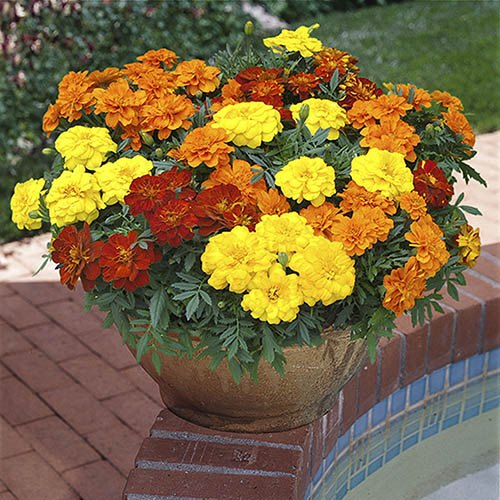 French Marigold Durango Mix
