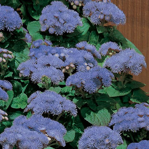 Ageratum Cloud Nine