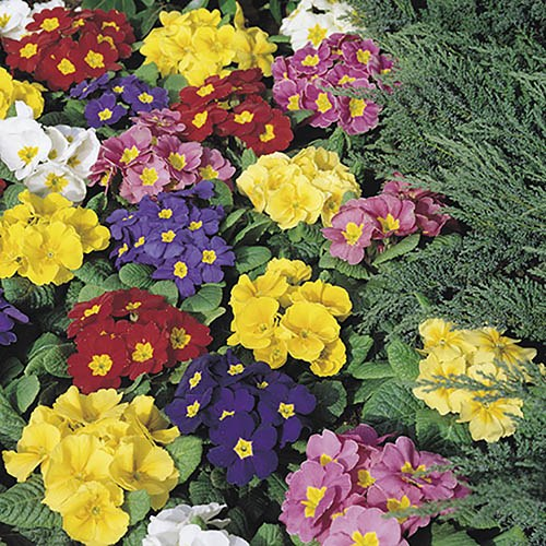 Primrose Alaska Mixed 40 plugs