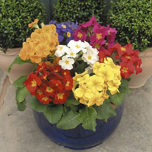 Polyanthus Crescendo Mixed 40 maxiplugs