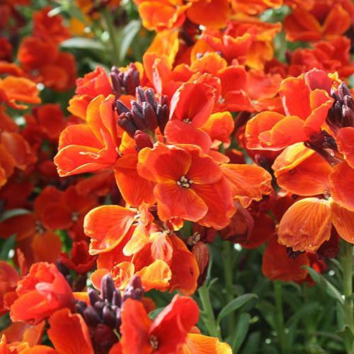 Hardy Wallflowers - Scarlet Emperor
