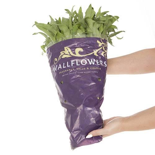 Hardy Wallflowers - Compact Harlequin Mix