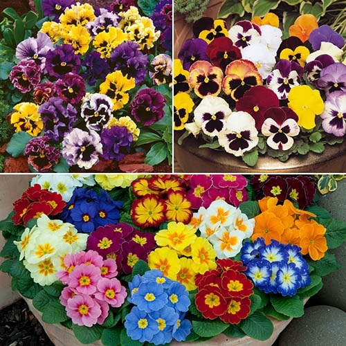 Autumn Bedding Mix - 120 Pansy & Primroses