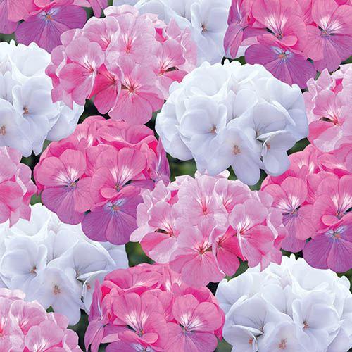 Geranium Candyfloss Mix