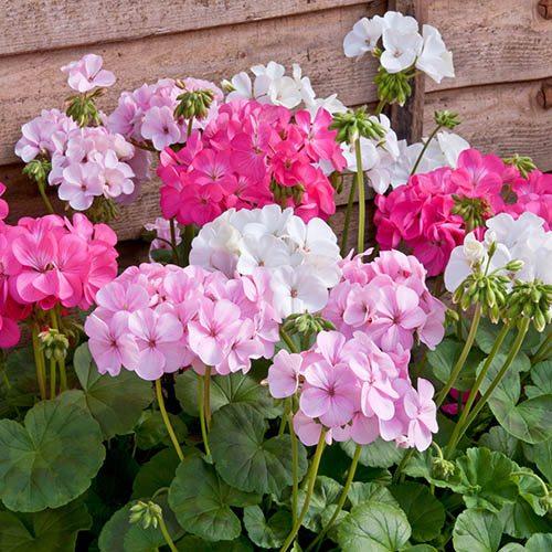 Geranium Bedding plants 12 Garden Ready plants. Candyfloss Mix