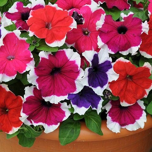 Petunia Express Picotee Ice Mix