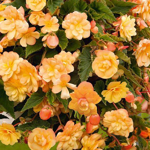 Begonia Apricot Shades Mix