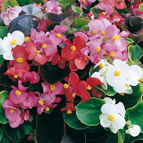 Begonia Organdy Mix
