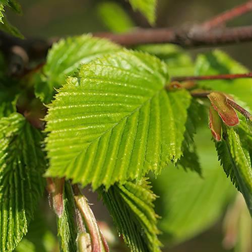 Hornbeam Hedging Plant - Carpinus betulus