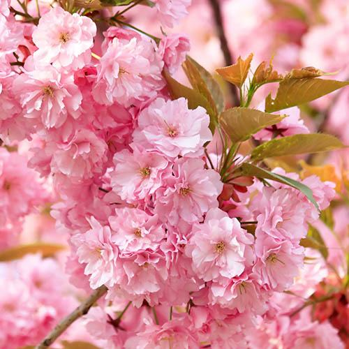 Flowering Cherry Kanzan