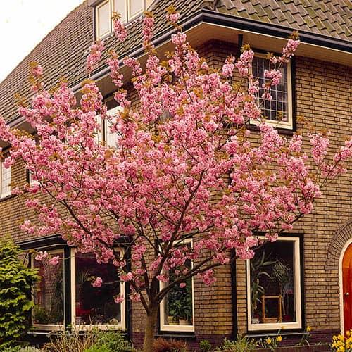 Flowering Cherry Kanzan
