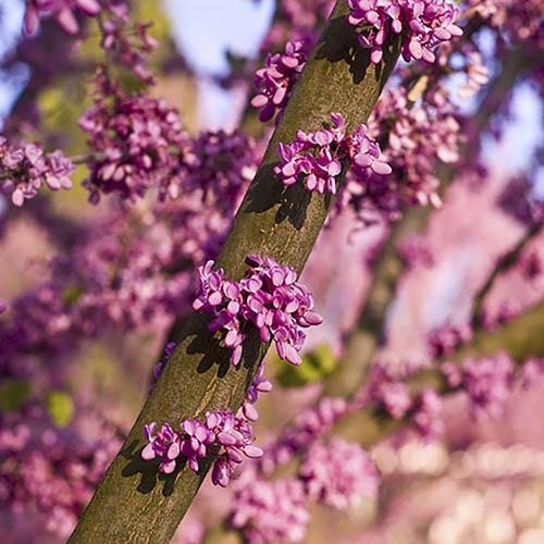 Cercis siliquastrum Judas Tree