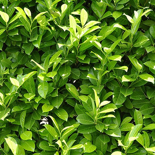 Laurel Hedging - Prunus laurocerasus Rotundifolia