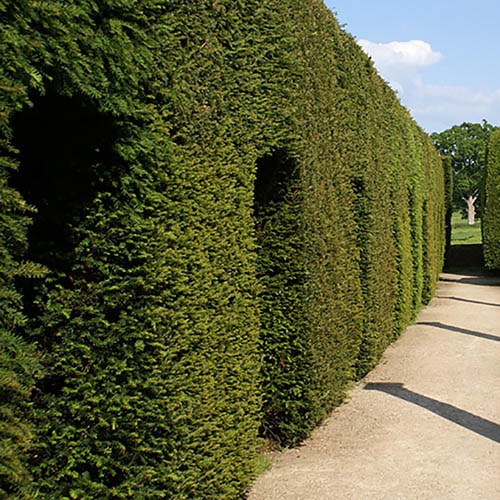 Yew Hedging Plant - Taxus baccata