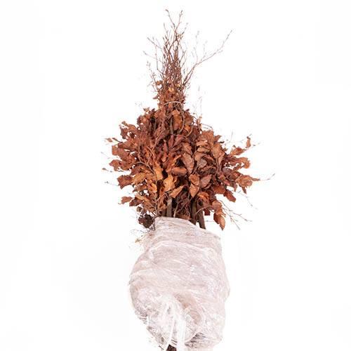 Beech Fagus sylvatica Hedging
