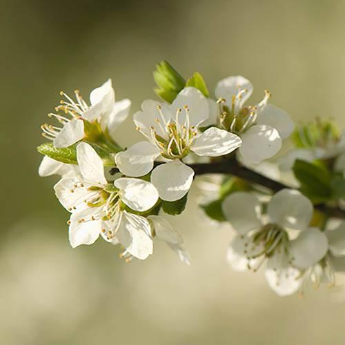 Blackthorn Prunus Spinosa Hedging