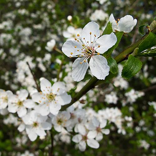 Blackthorn Prunus spinosa Hedging