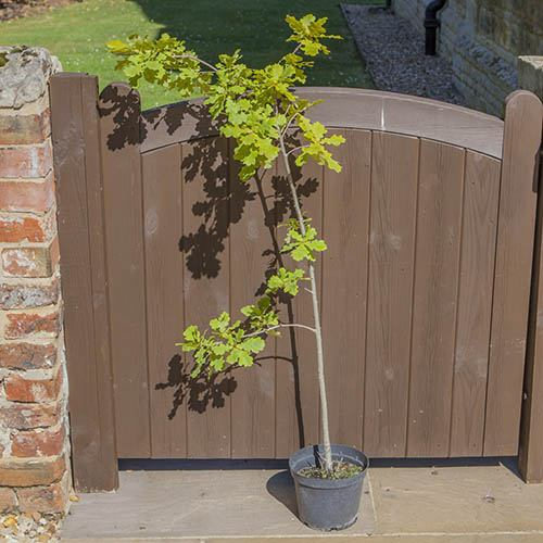 English Oak Tree with FREE Planting Kit
