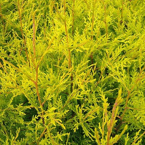 Golden Leylandii Conifer 2L